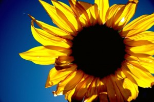 sunflower_sunrise_in_glendale